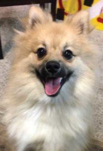 A happy Pomeranian