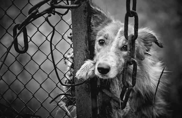 Sad dog chained to a fence