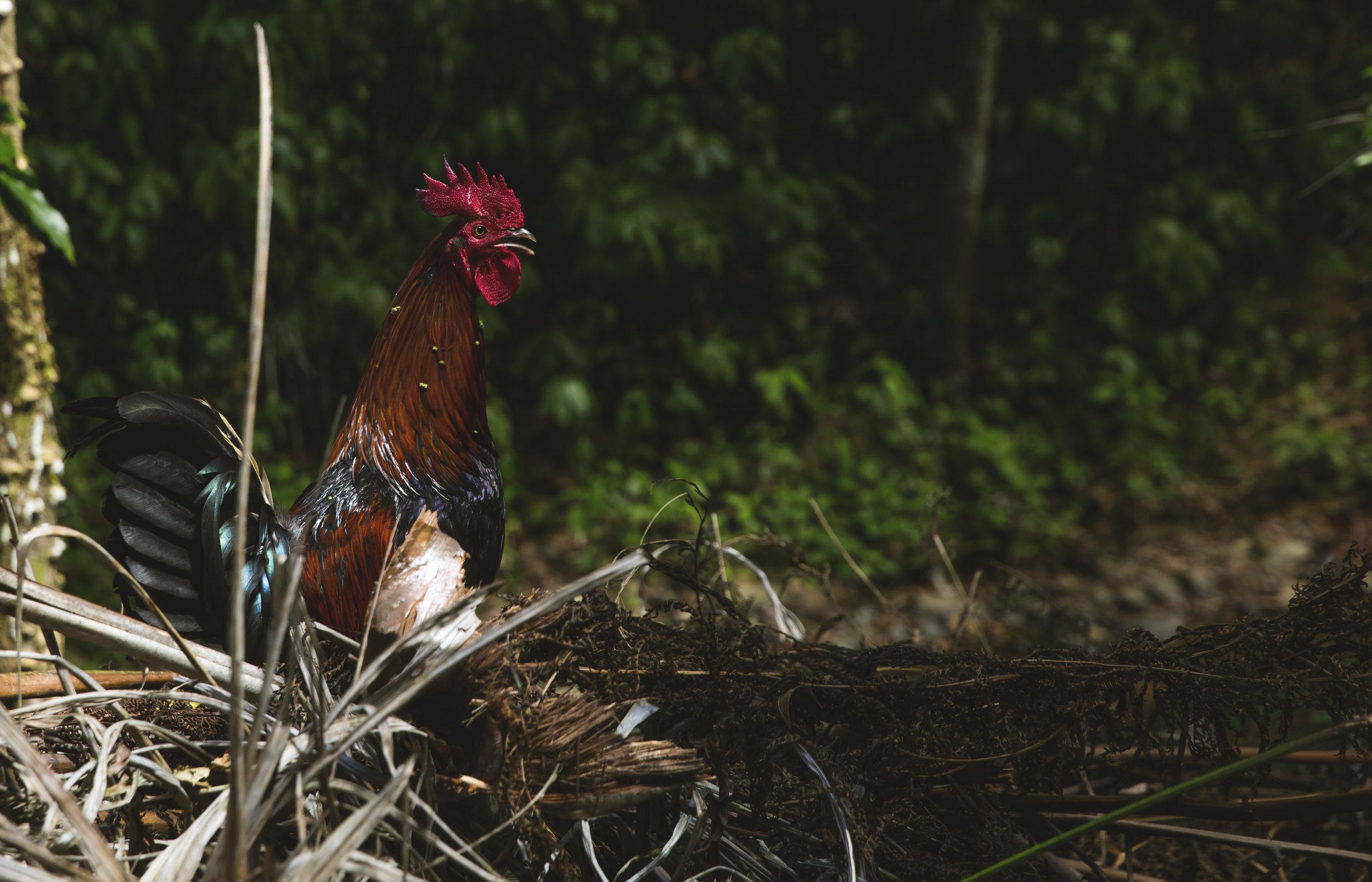 Rooster_Lares_01_CROP.jpg