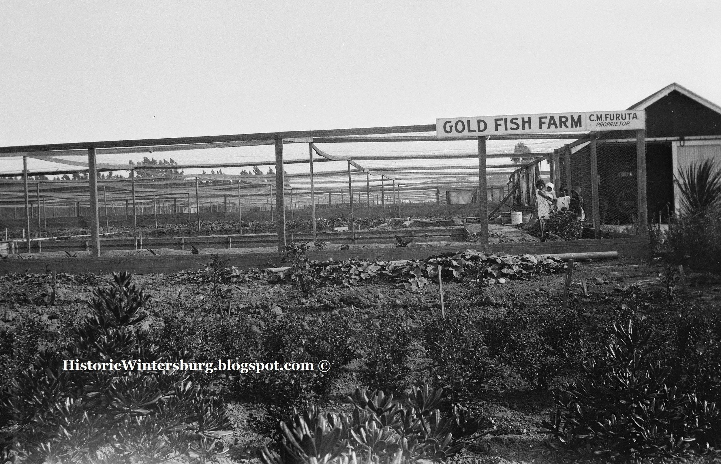 Furuta - Gold Fish Farm_watermark.jpg