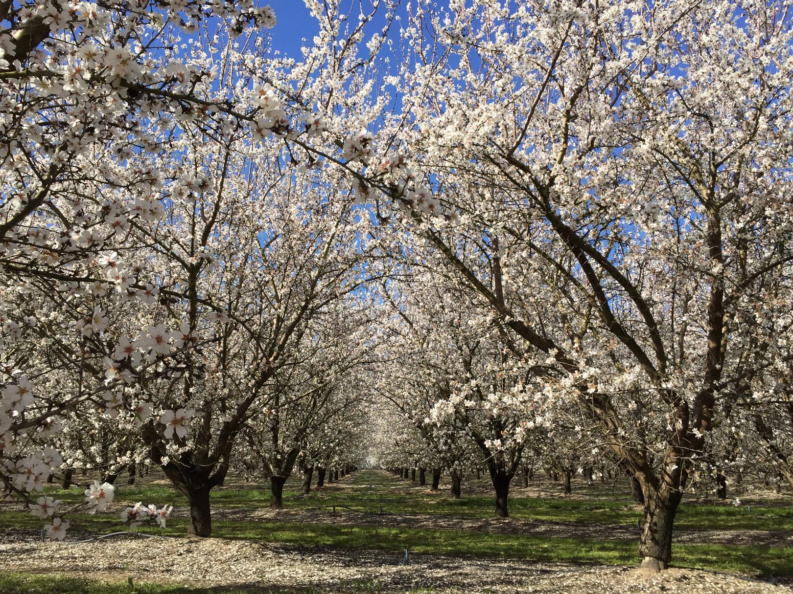 Almond blossoms in Modesto, California