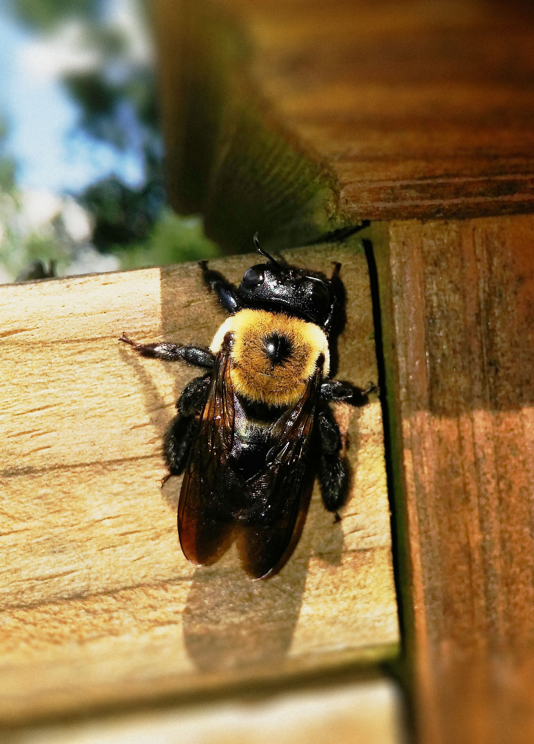 After the carpenter bees have been successfully controlled we can seal their old holes.