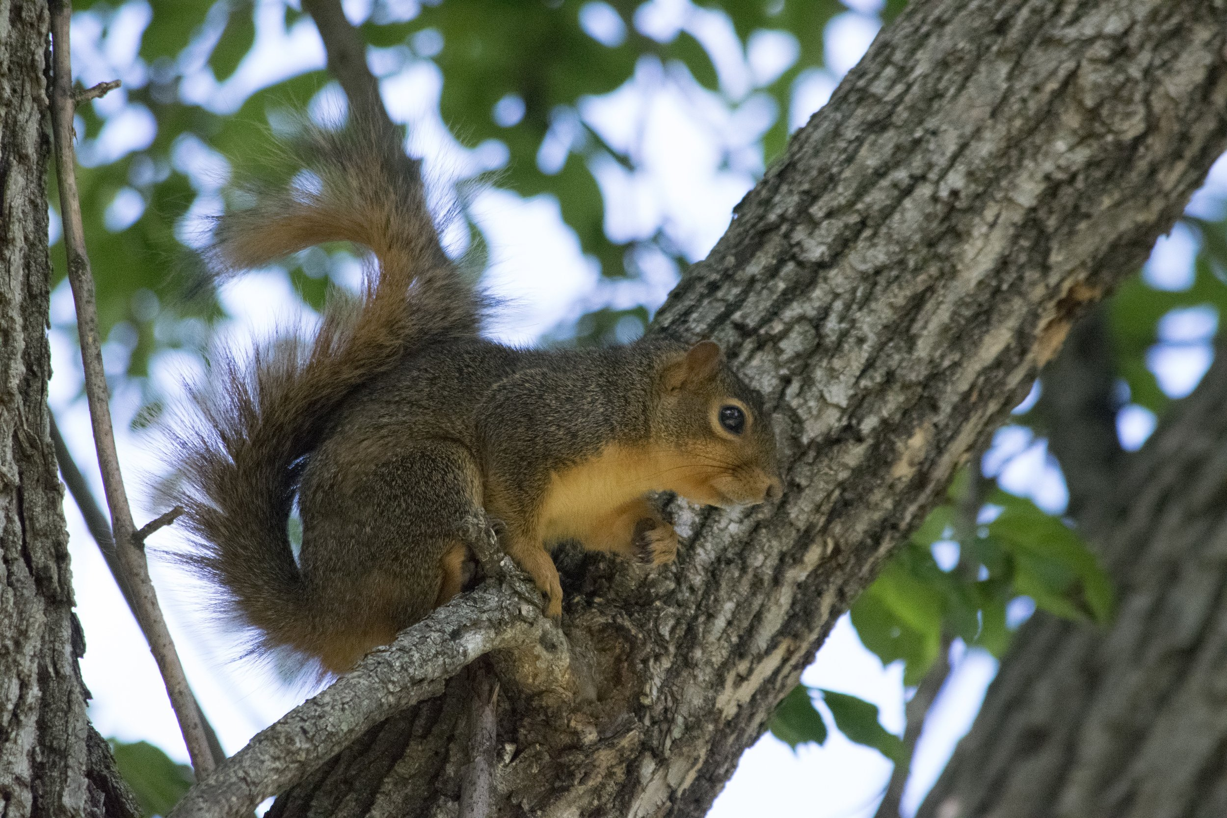 I am hearing fast running in my attic and walls mostly in the morning or late afternoon -  Squirrels