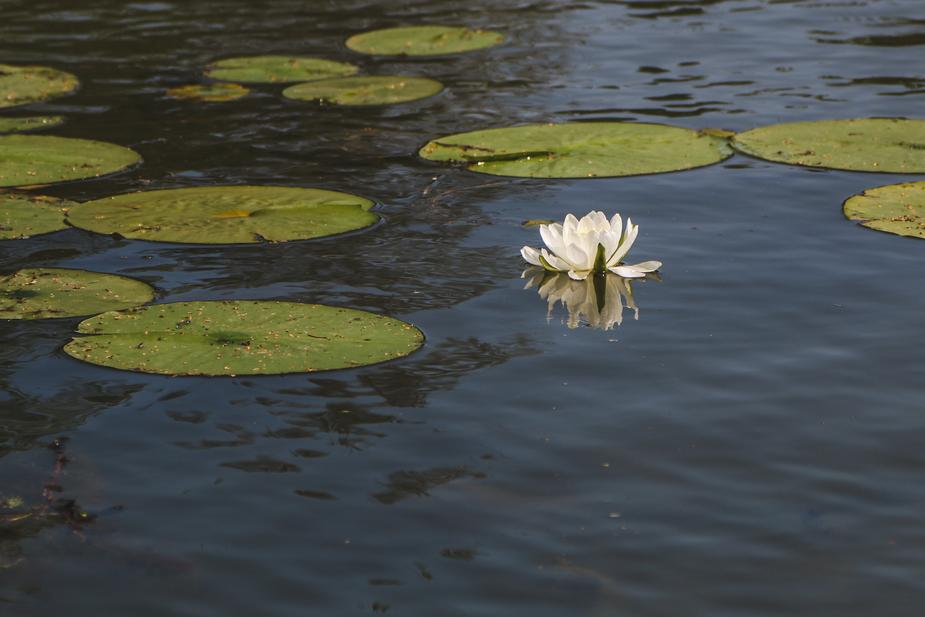 water-lily-and-lily-pad_925x.jpg