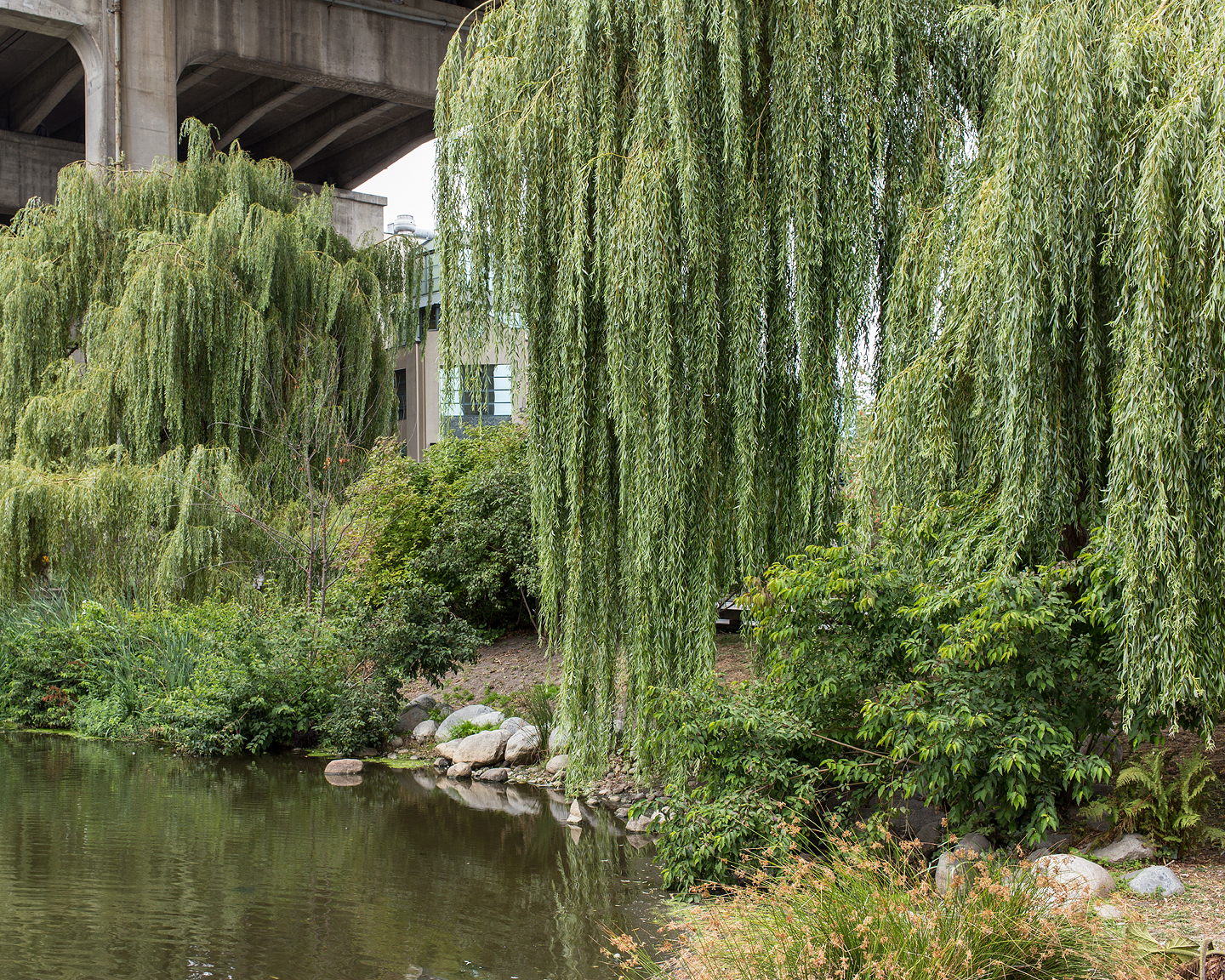 Weeping Willows, 2015
