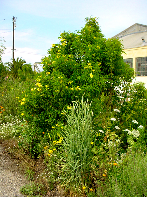 Yellow Bells below established with almost no watering into an attractive small tree.