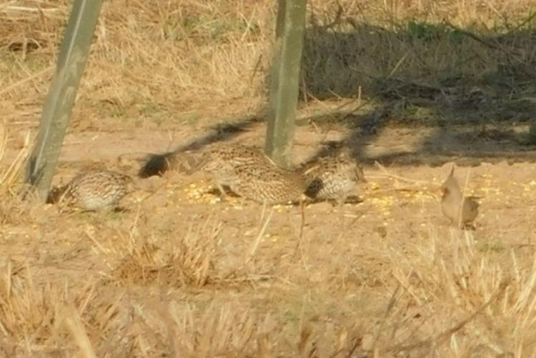quail -