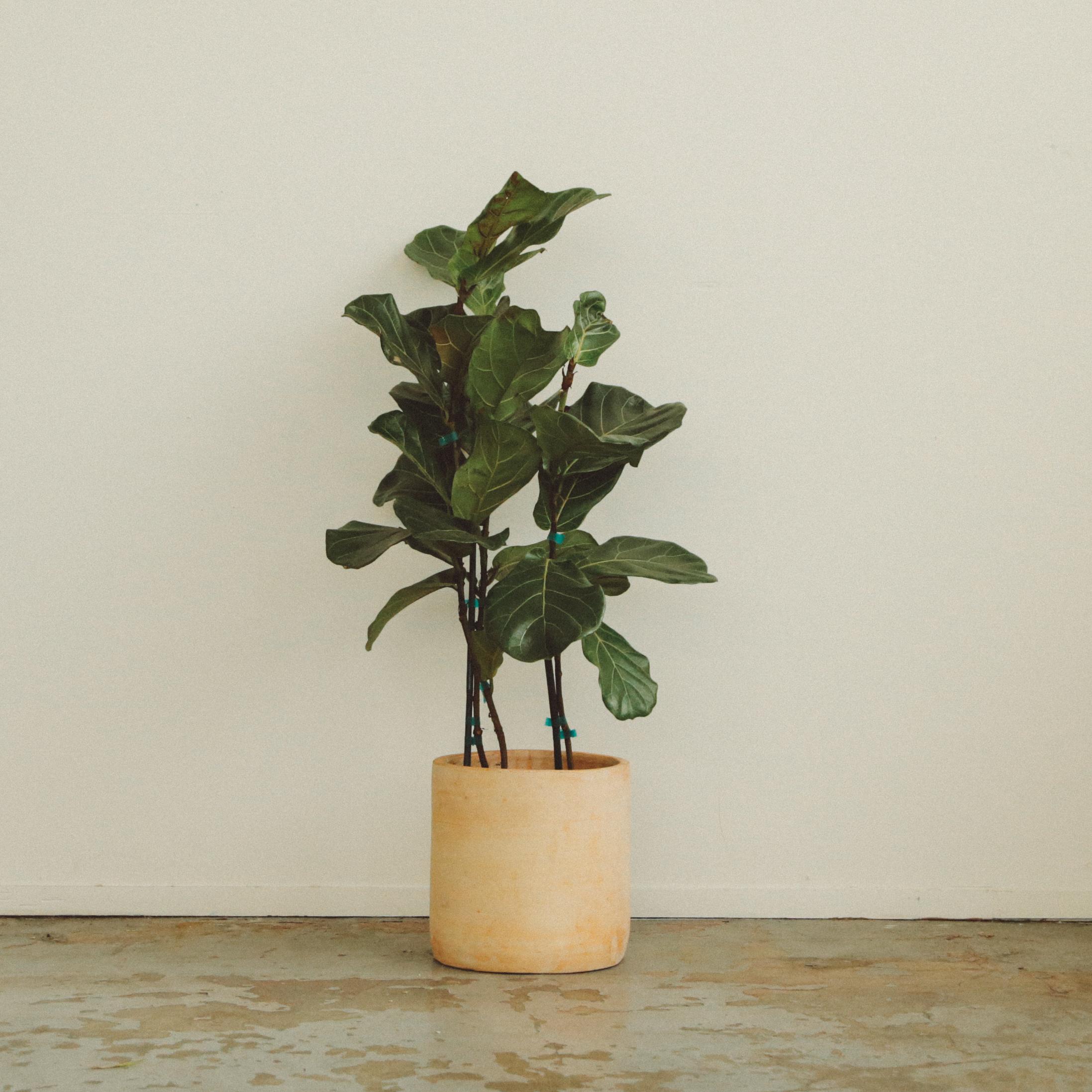 Ai - Fiddle Leaf Fig -