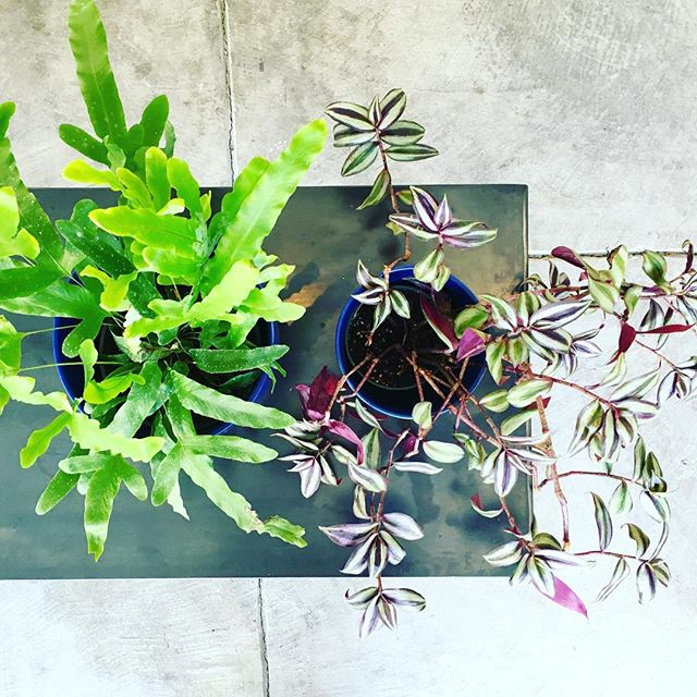"ATTENTION BAY AREA! Purchase a houseplant at Parlor today, 9/2/17, and 100% of the proceeds will go to the LGBTQ Hurricane Harvey Disaster Relief Fund. ""The LGBTQ Disaster Relief Fund will be used to help individuals and families begin to rebuild their lives through counseling, case management, direct assistance with shelf stable food, furniture, housing and more. The Center's dedicated case management team is on call to help homeless youth, seniors, people living with HIV, hate crime survivors, and those devastated by the storm."" https://my.reason2race.com/DNicol/HurricaneHarveyLGBTQDisasterReliefFund2017"