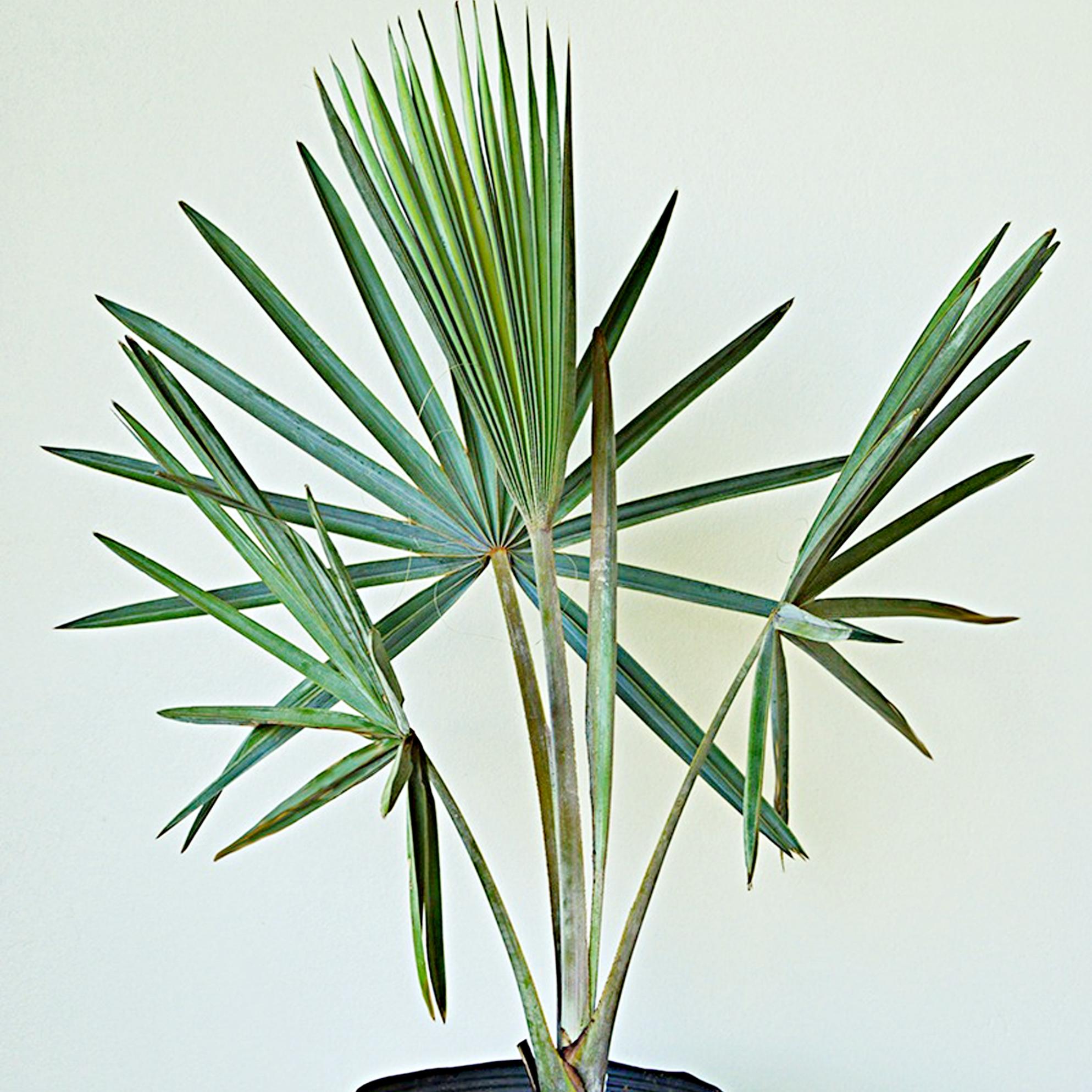 Bismarck Palm - Bismarkia nobilis -