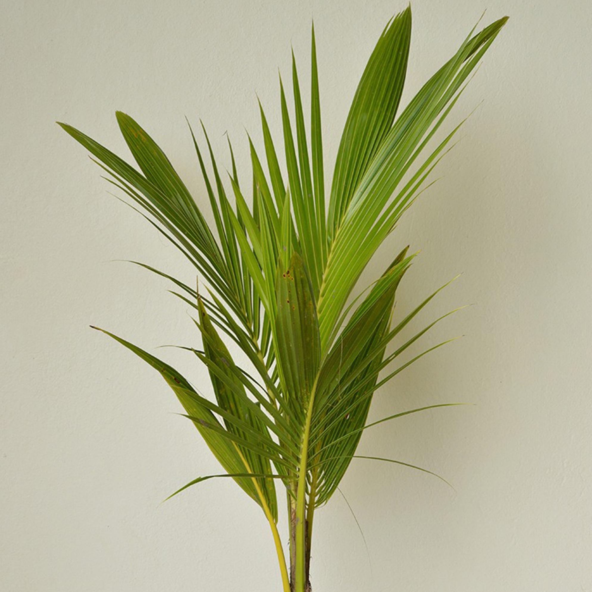 Coconut Palm - Cocos nucifera -