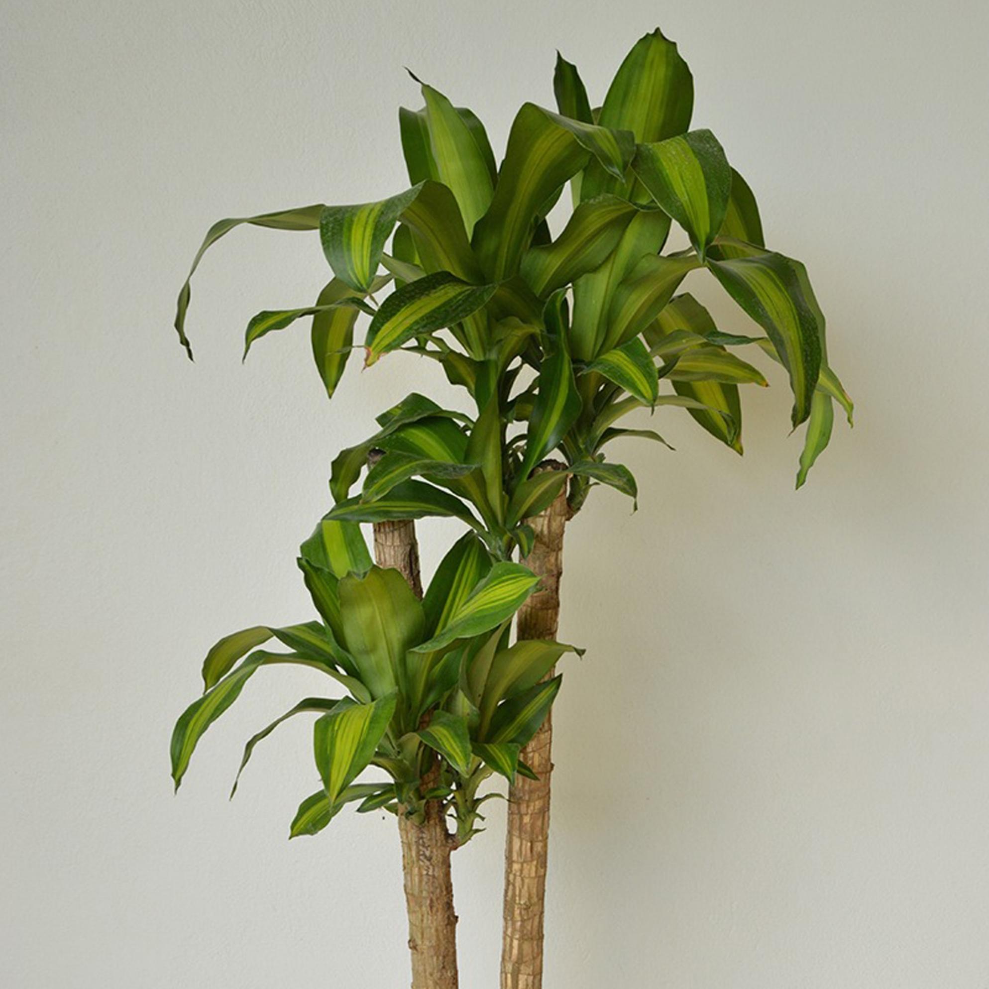 Corn Plant - Dracaena massangeana -