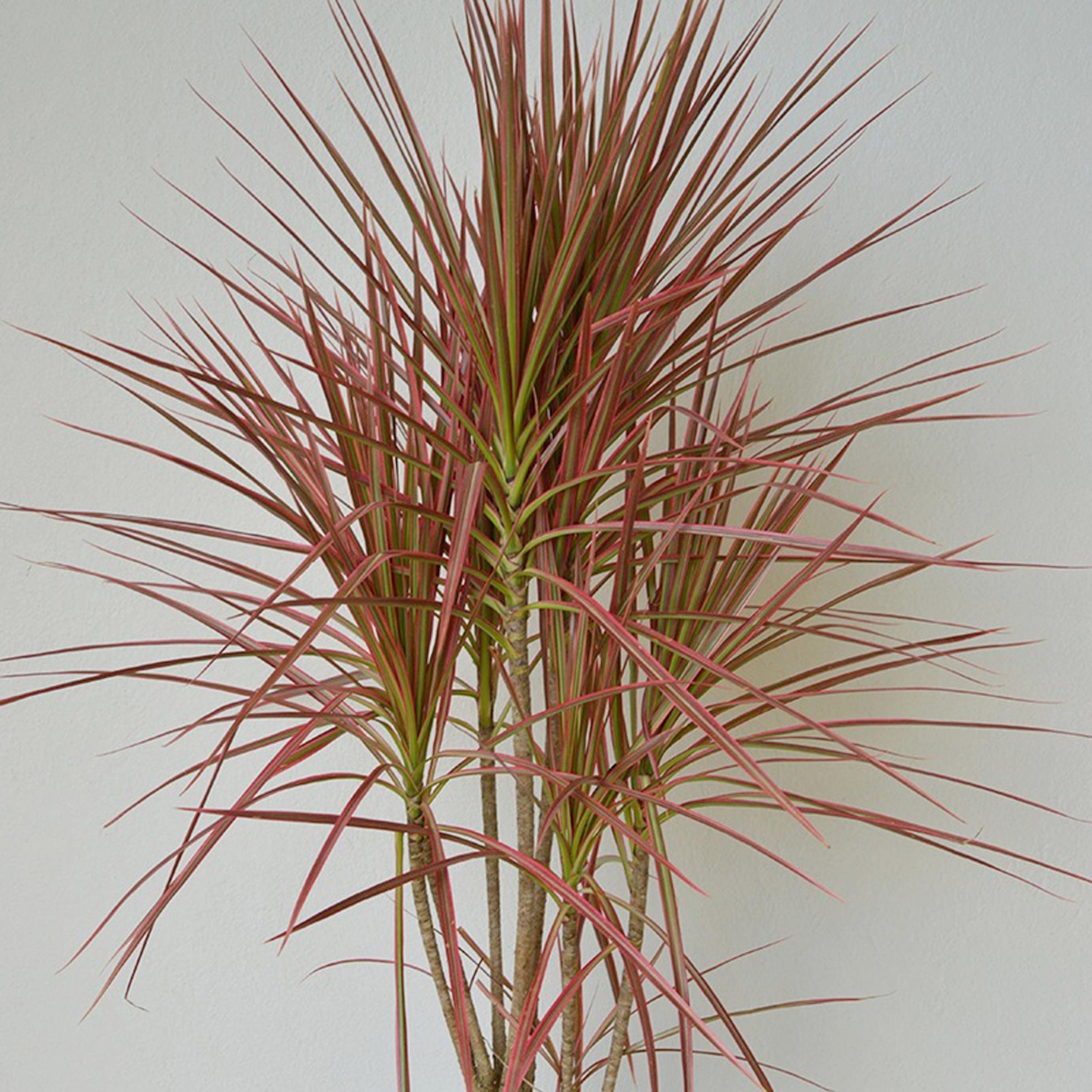 Dracena Tricolor - Dracaena tricolor -