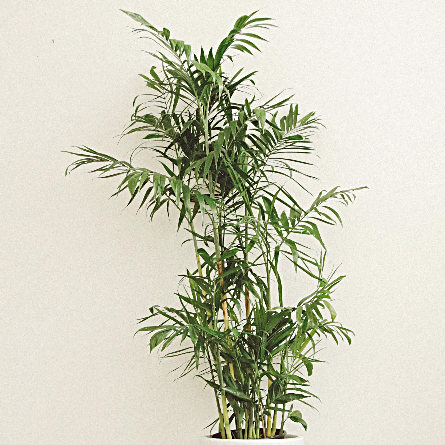 Parlor Palm - Chamaedorea elegans -