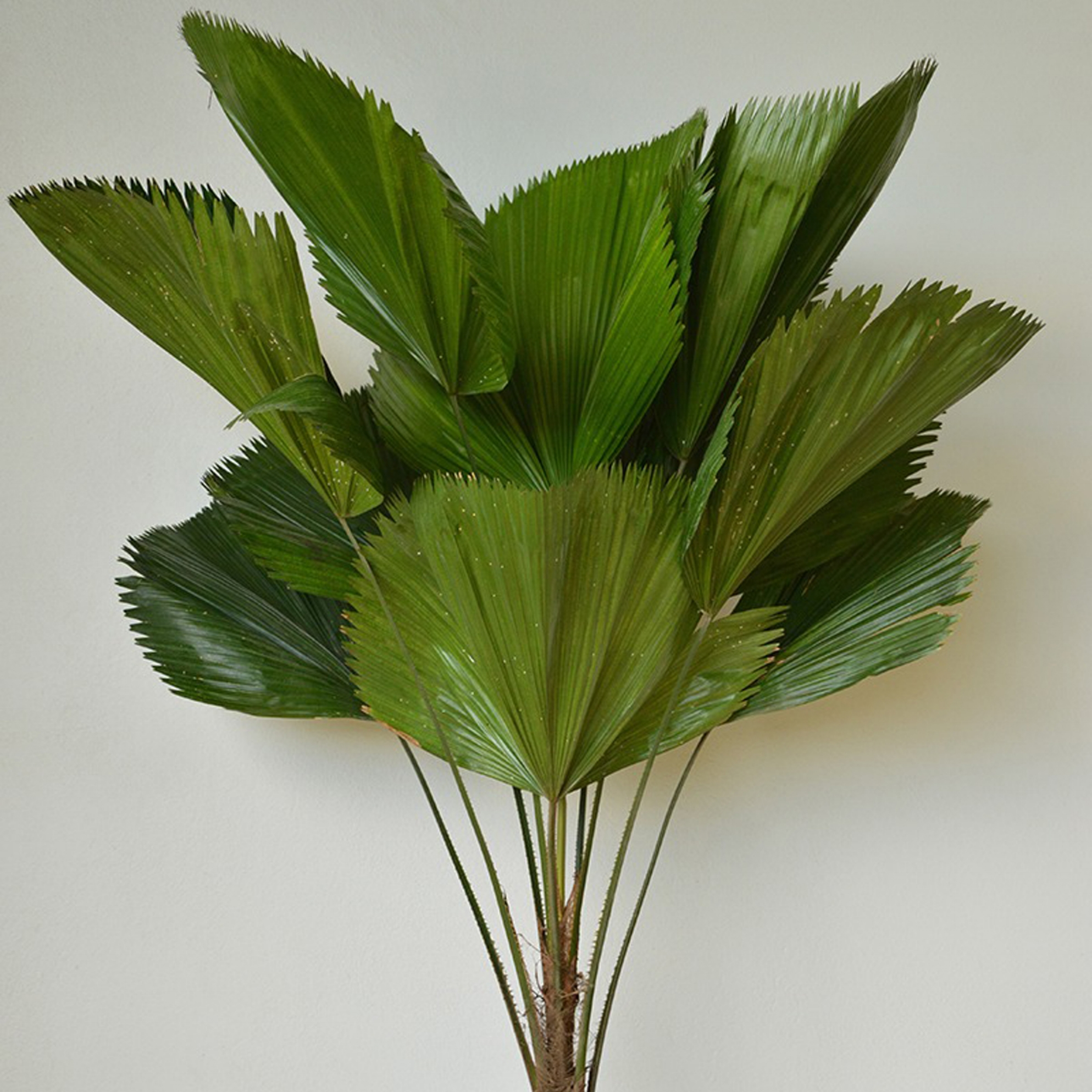 Ruffled Fan Palm - Licuala grandis -