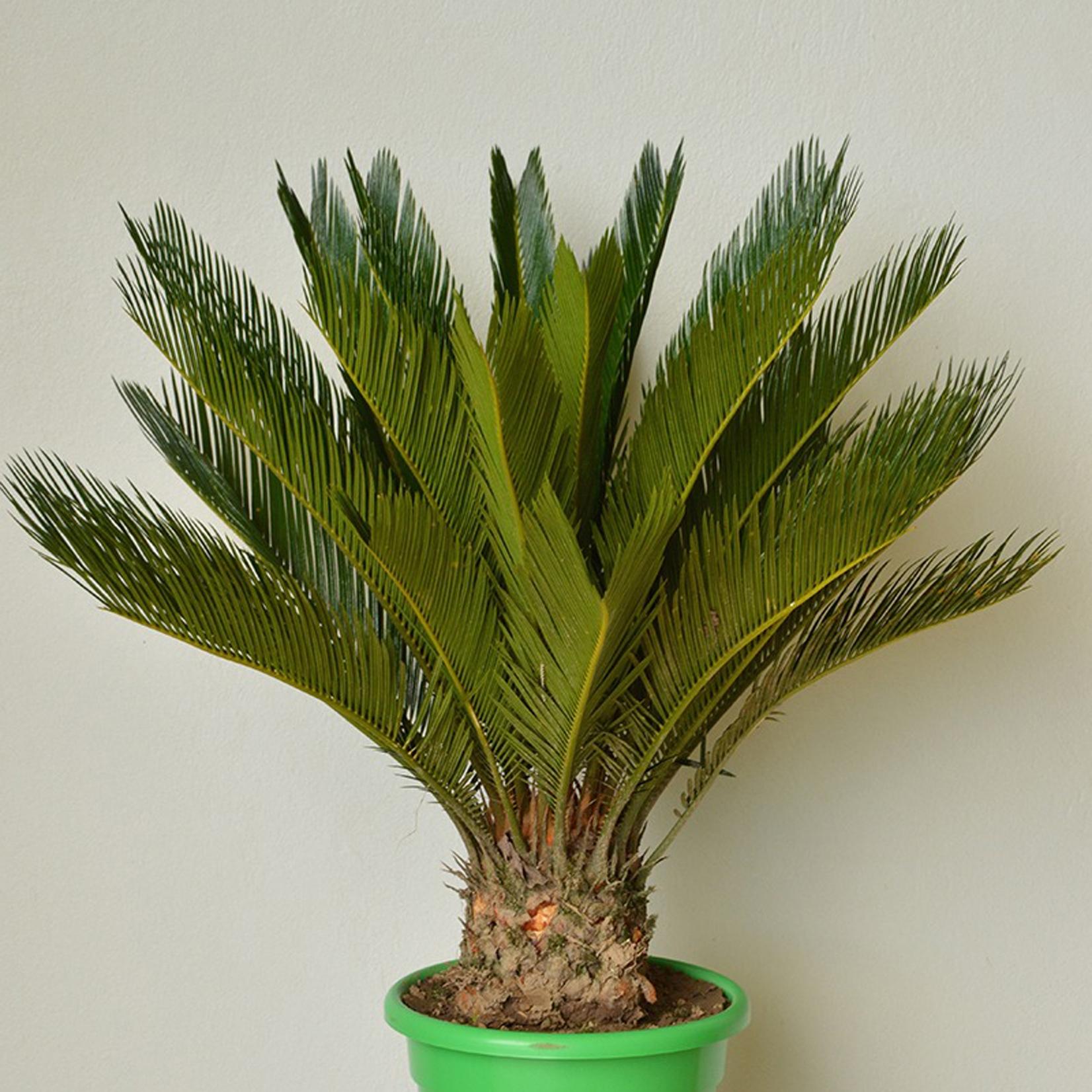 Sago Palm - Cycas revoluta -