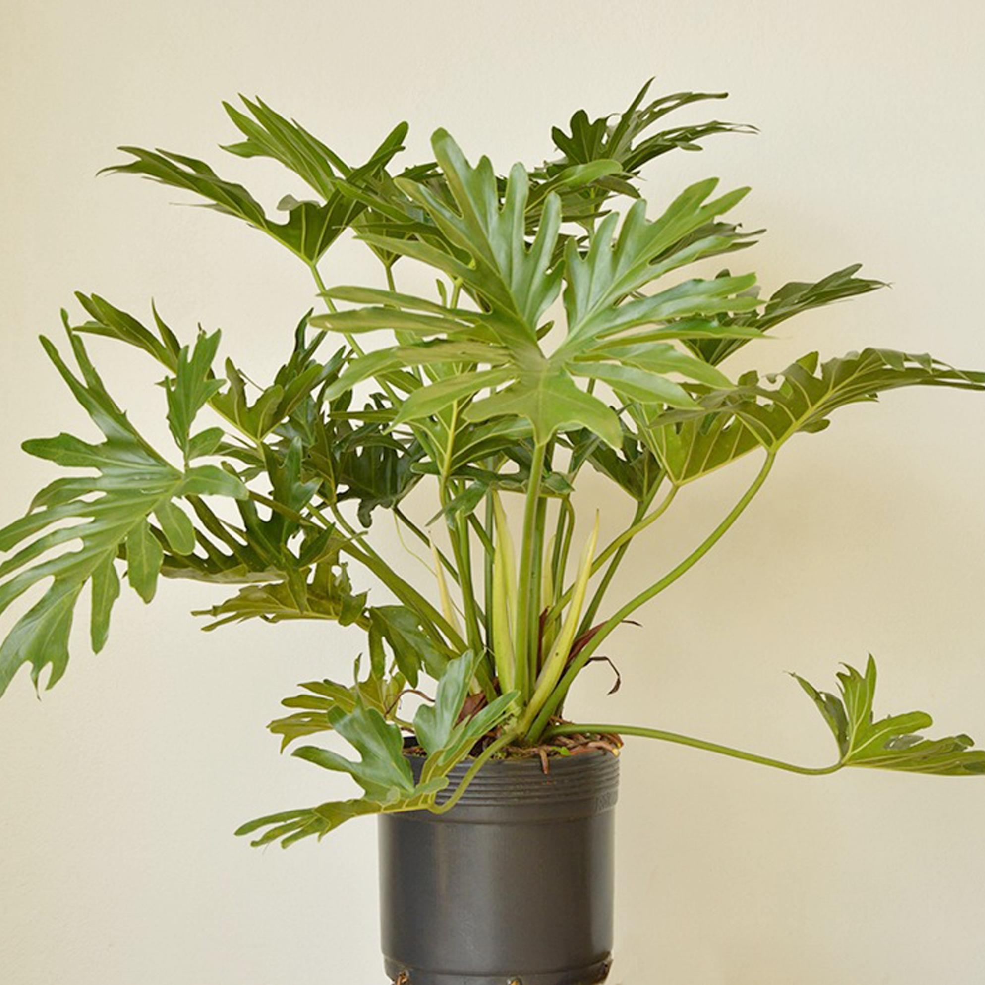 Philodendron bipinnatifidium -