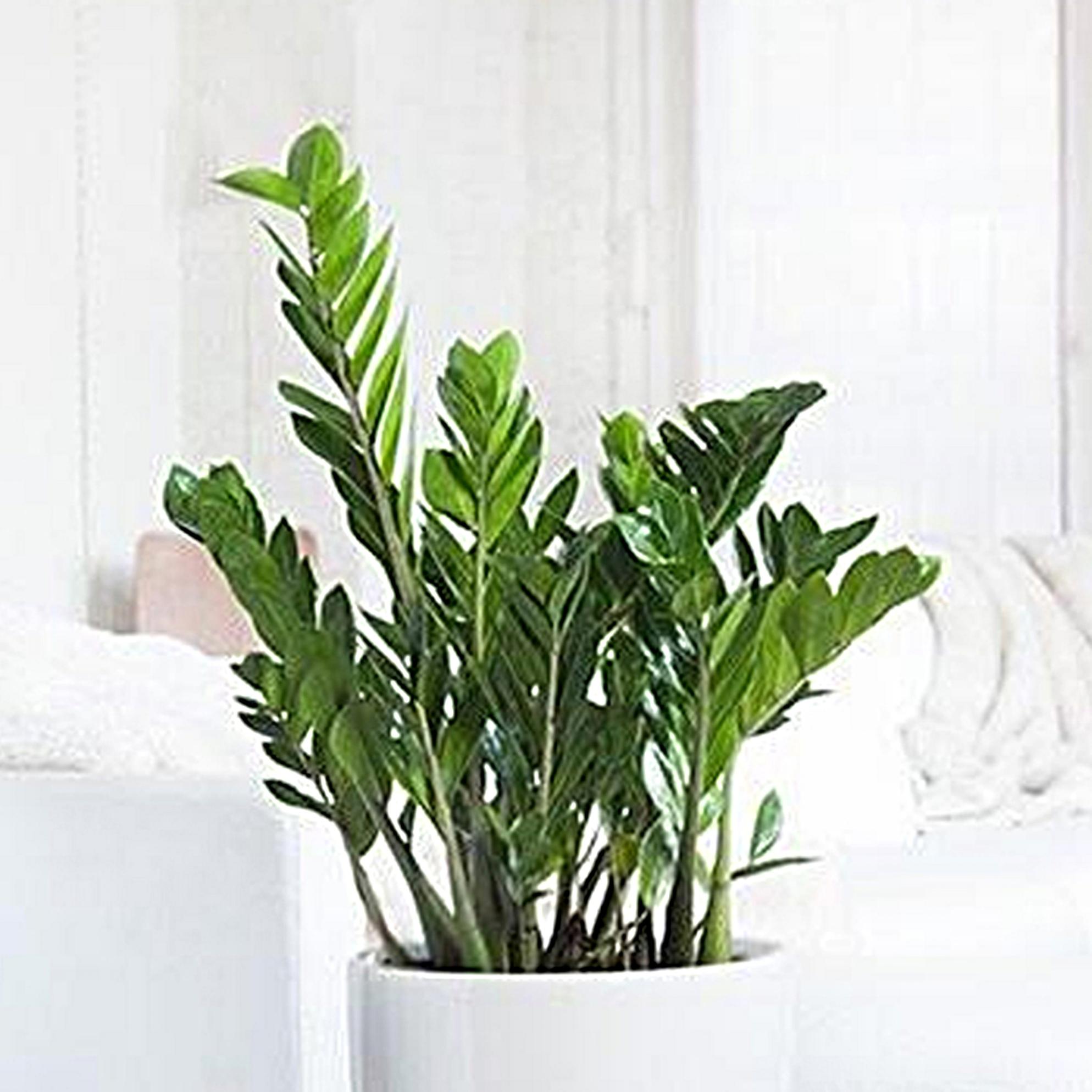 ZZ plant - Zamioculcas -
