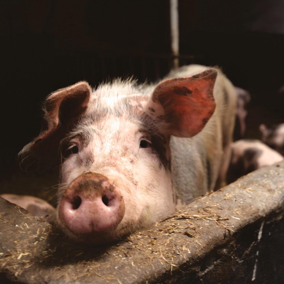 animal-farming-animals-farm-66627.jpg