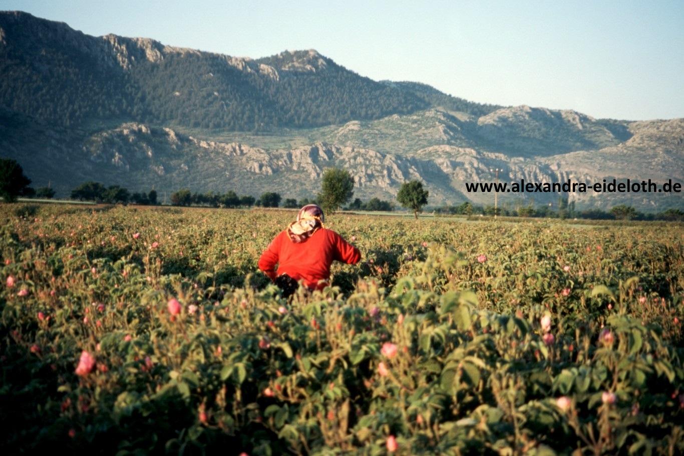 Rosenernte in der Türkei im Taurusgebirge