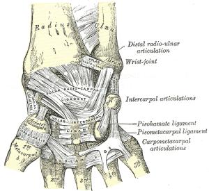 Palmar Ligaments (termed Volar Ligaments)