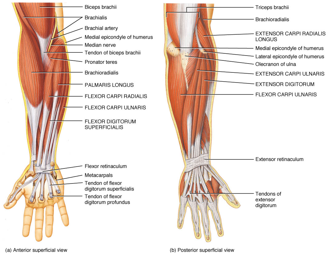 Anterior and Posterior views of the muscles that control the wrist and hand