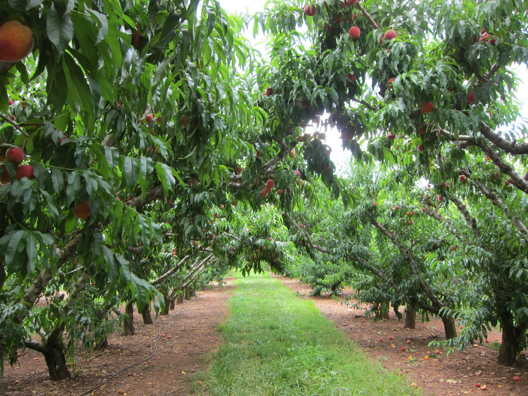 chile's peach orchard, google images