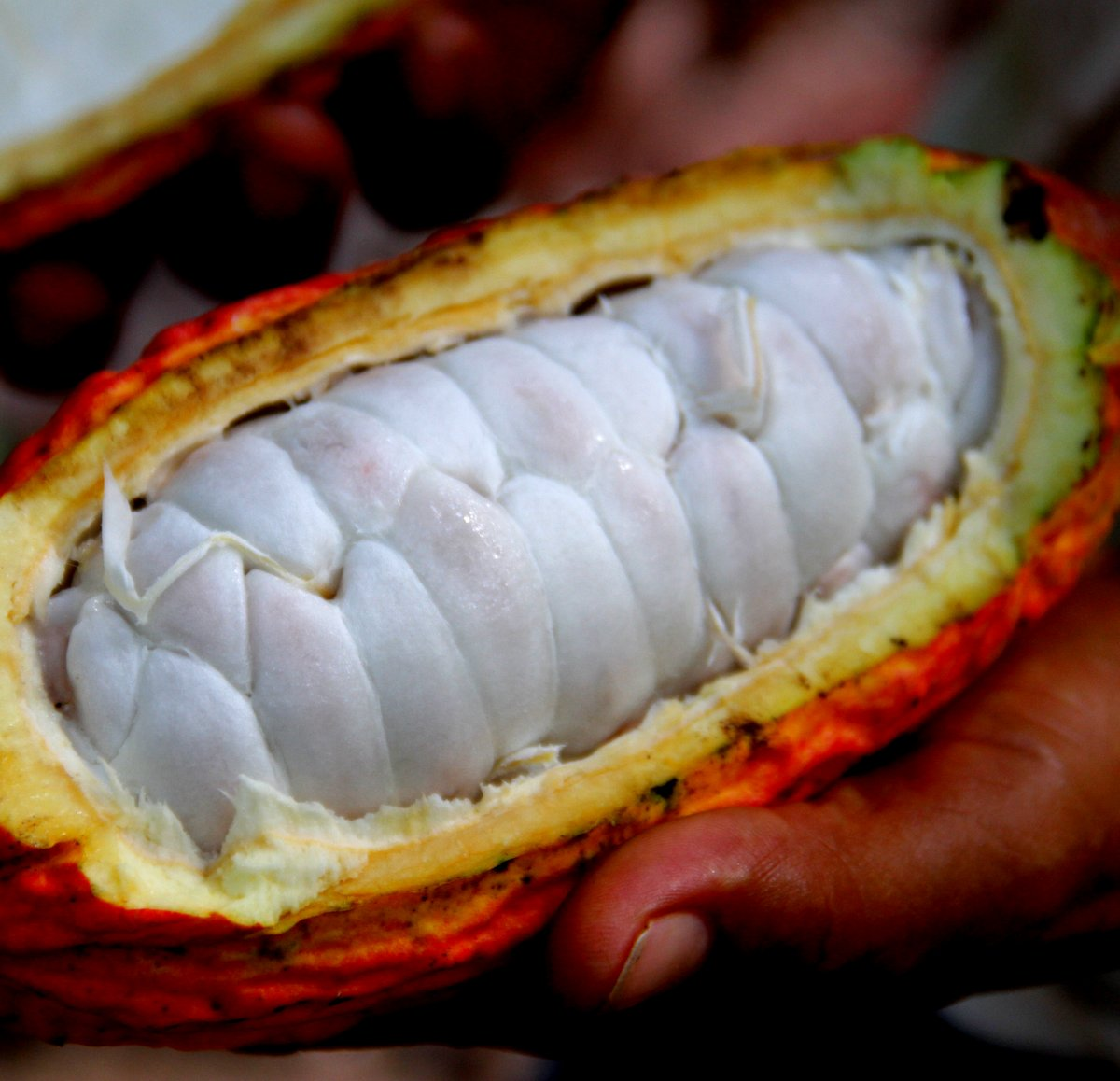 The wonders within the cacao fruit pod - it's not just about the cocoa beans anymore! See how The Cacao Fruit Company uses more than 95% of the entire cacao fruit, not just the 20% that is the current industry average.