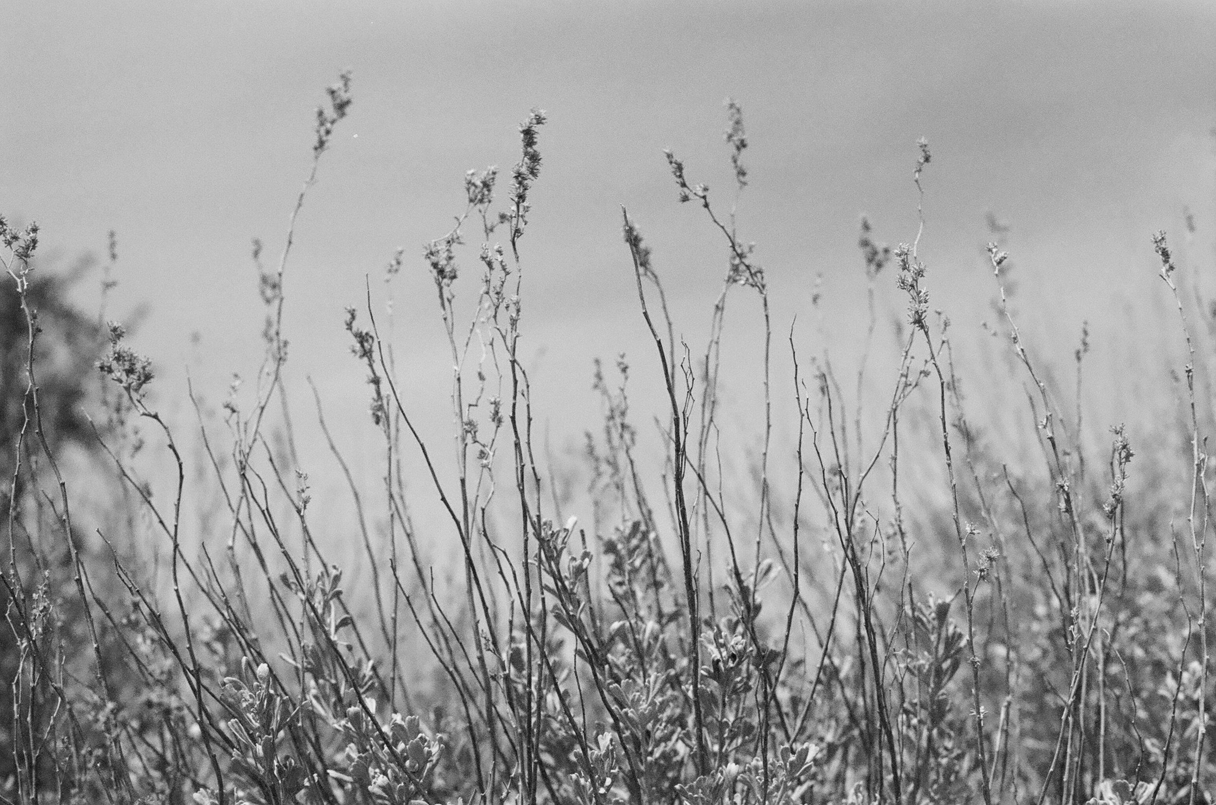 Blooming Sage Brush