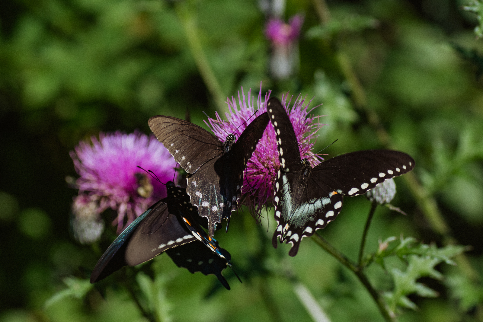 (Left and Center)  Pipeline Swallowtail   Battus philenor   (Right)  Spicebush swallowtail   Papilio troilus