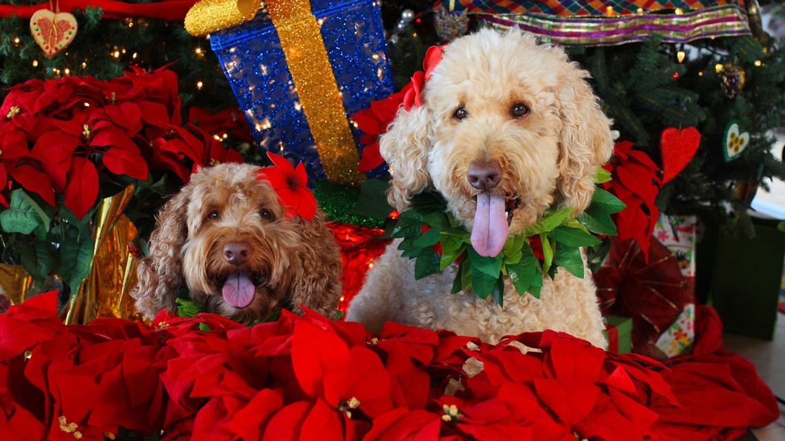 Purchase a poinsettia plant and help a pet through our Flowers for Furries Fundraiser.
