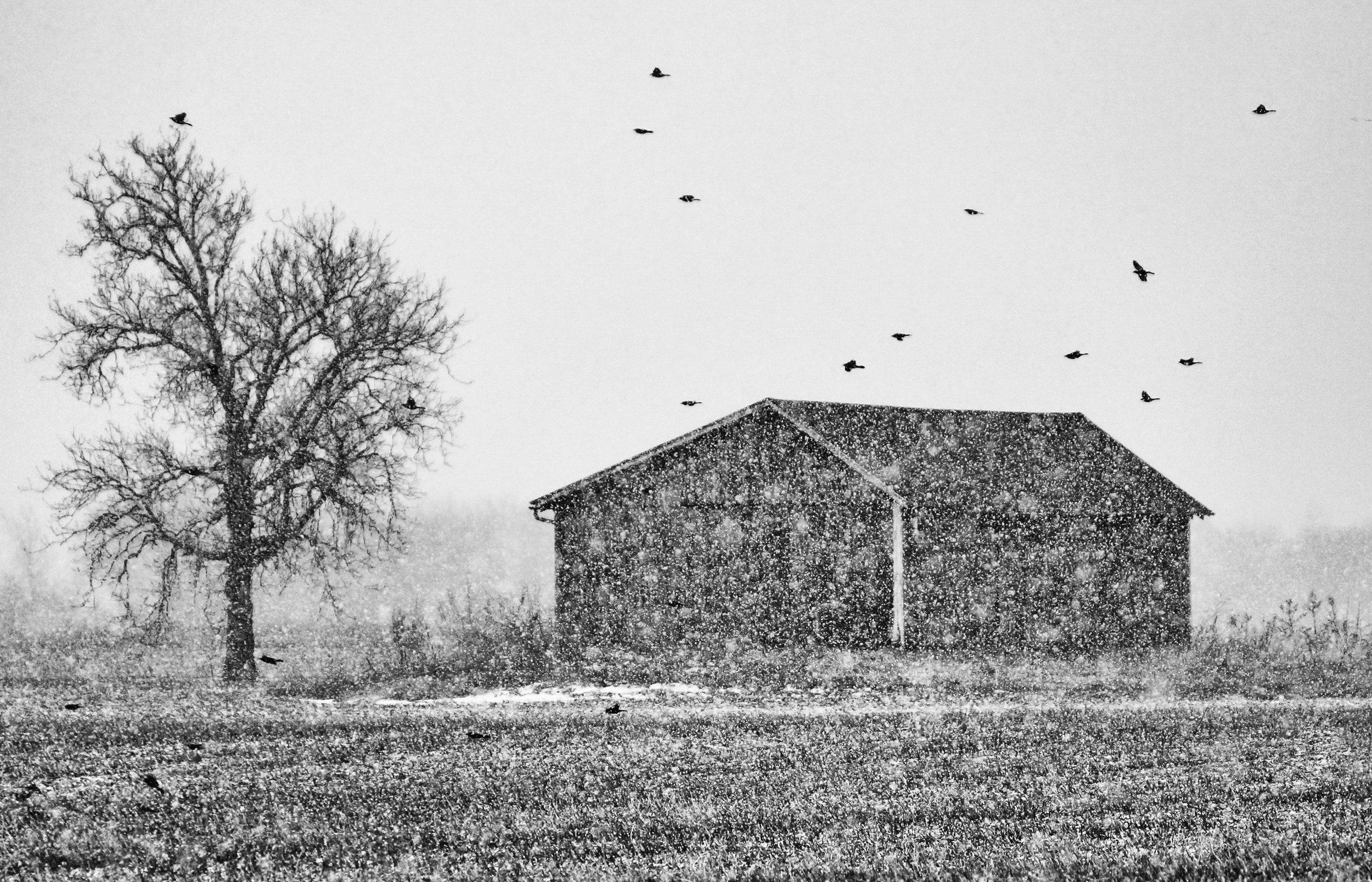 Blackbirds, Fly