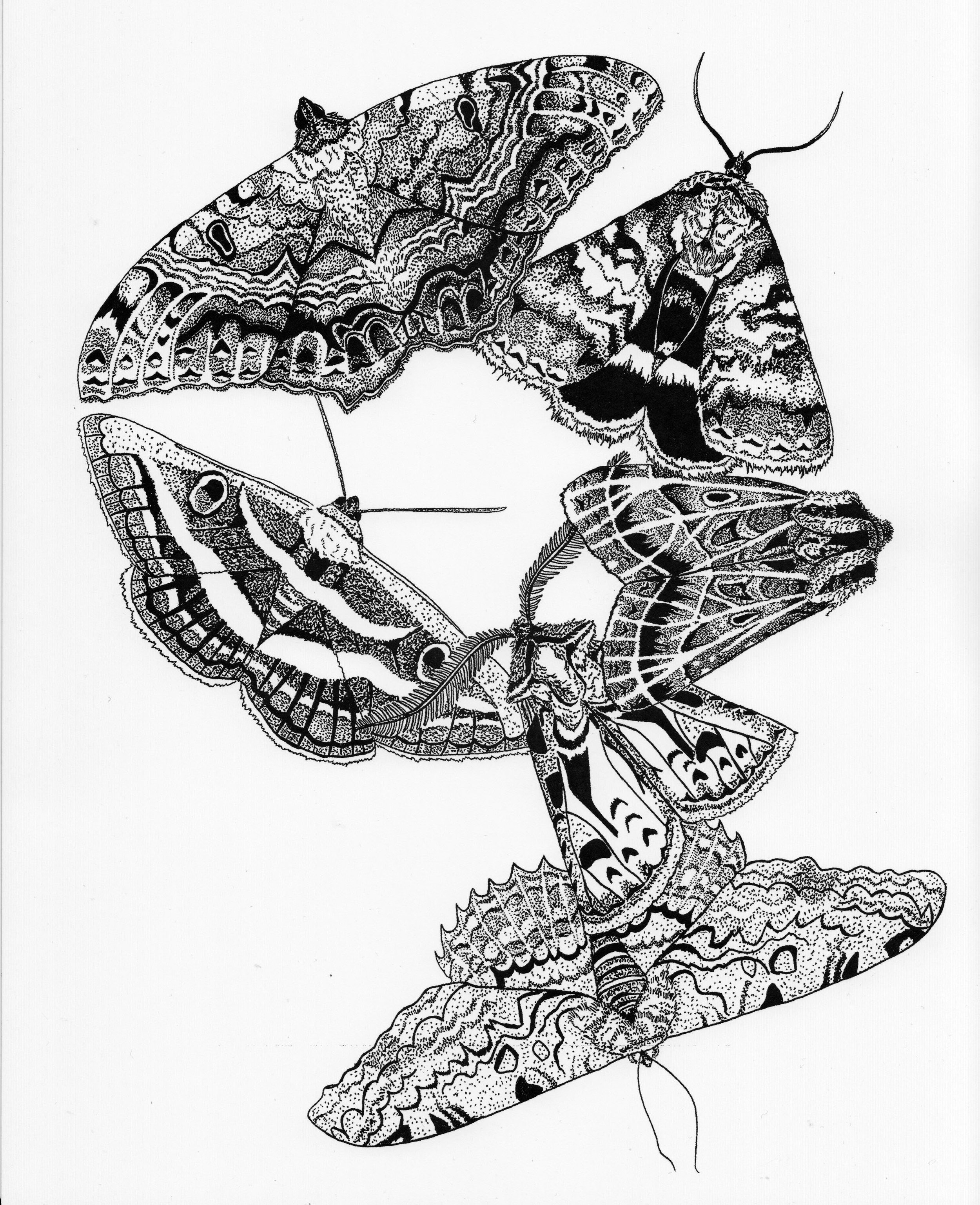 Noctuidae.jpeg
