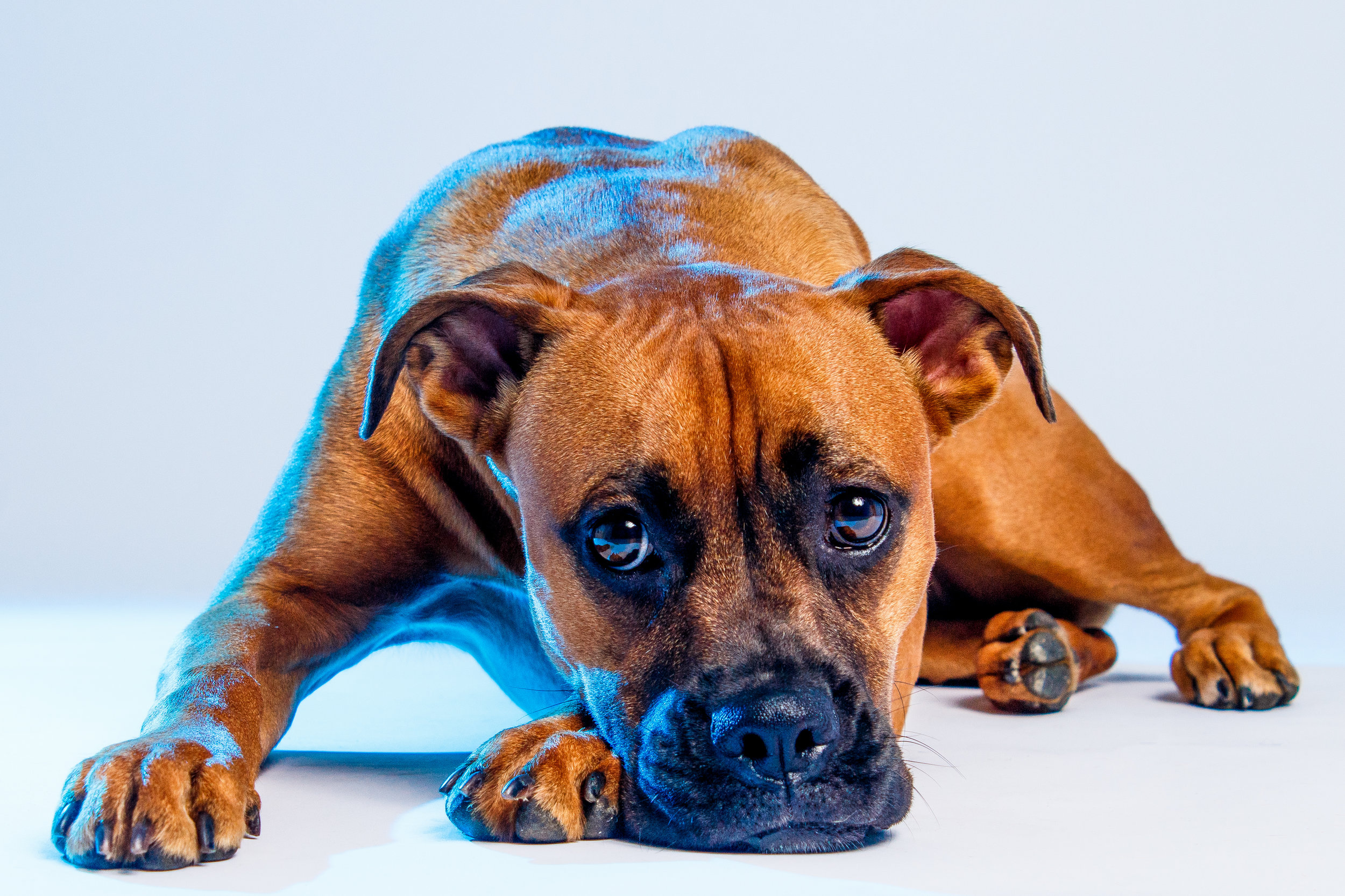 Image of a Boxer In Studio with Blue Coloured Gels by Brent D'Silva. Brampton, Ontario.