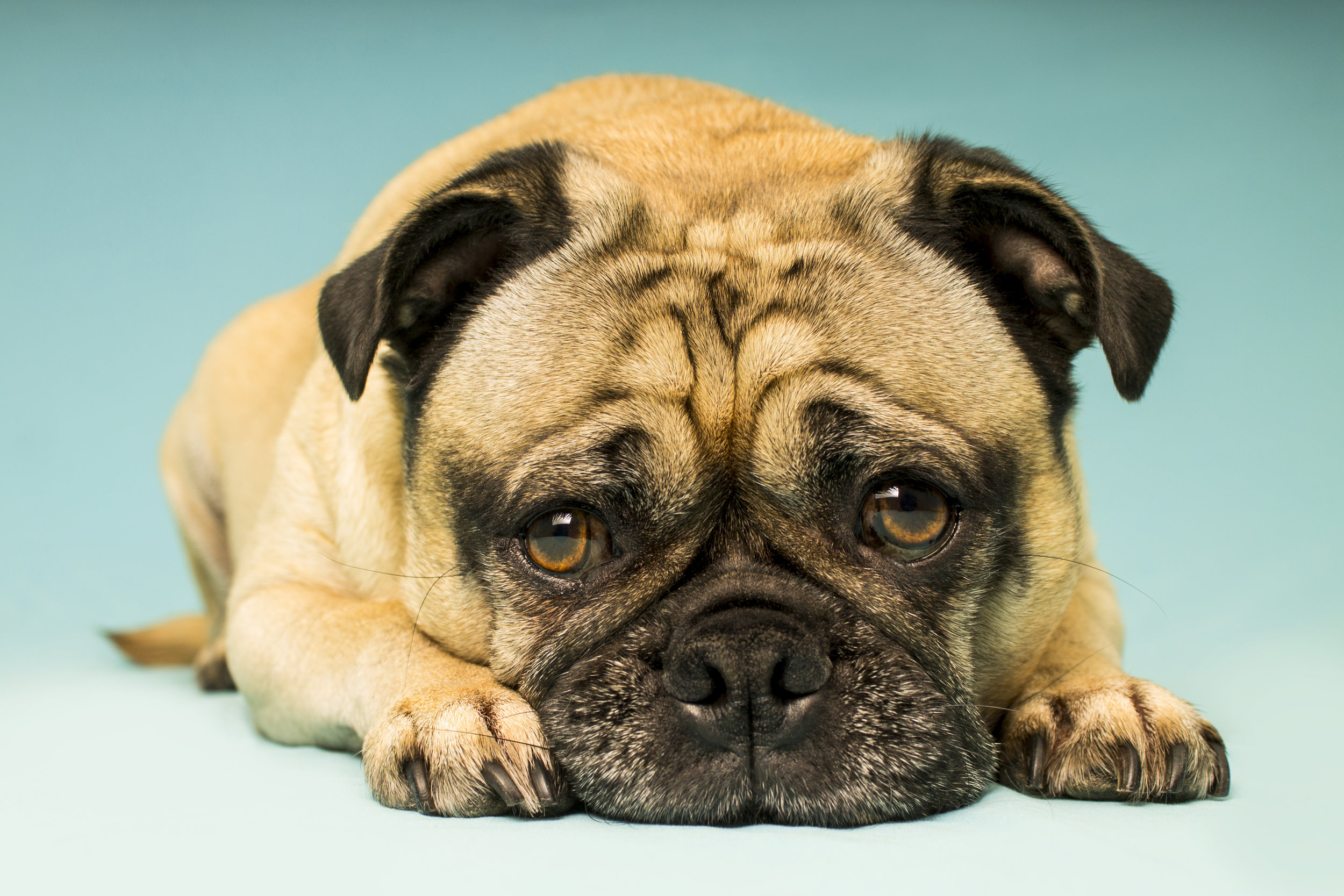 Image of a Pug Posing in Studio with Pet and Dog Photographer Brent D'Silva from Brampton, Ontario