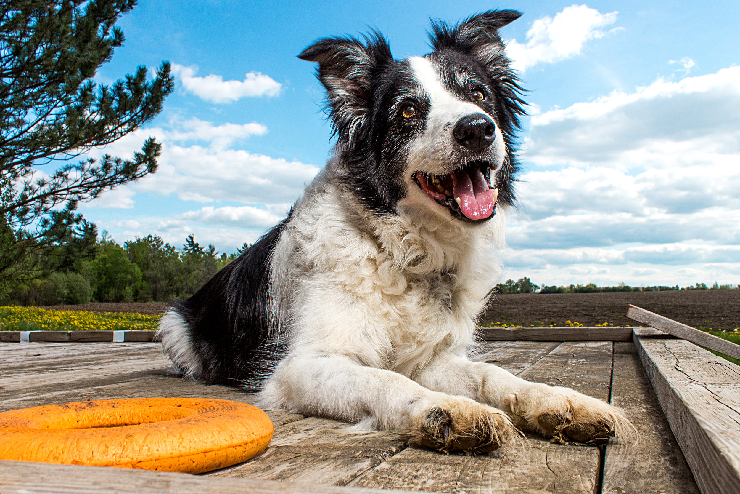 Image of a Border Collie Outside on the Farm by Brent D'Silva. Georgetown, Ontario.