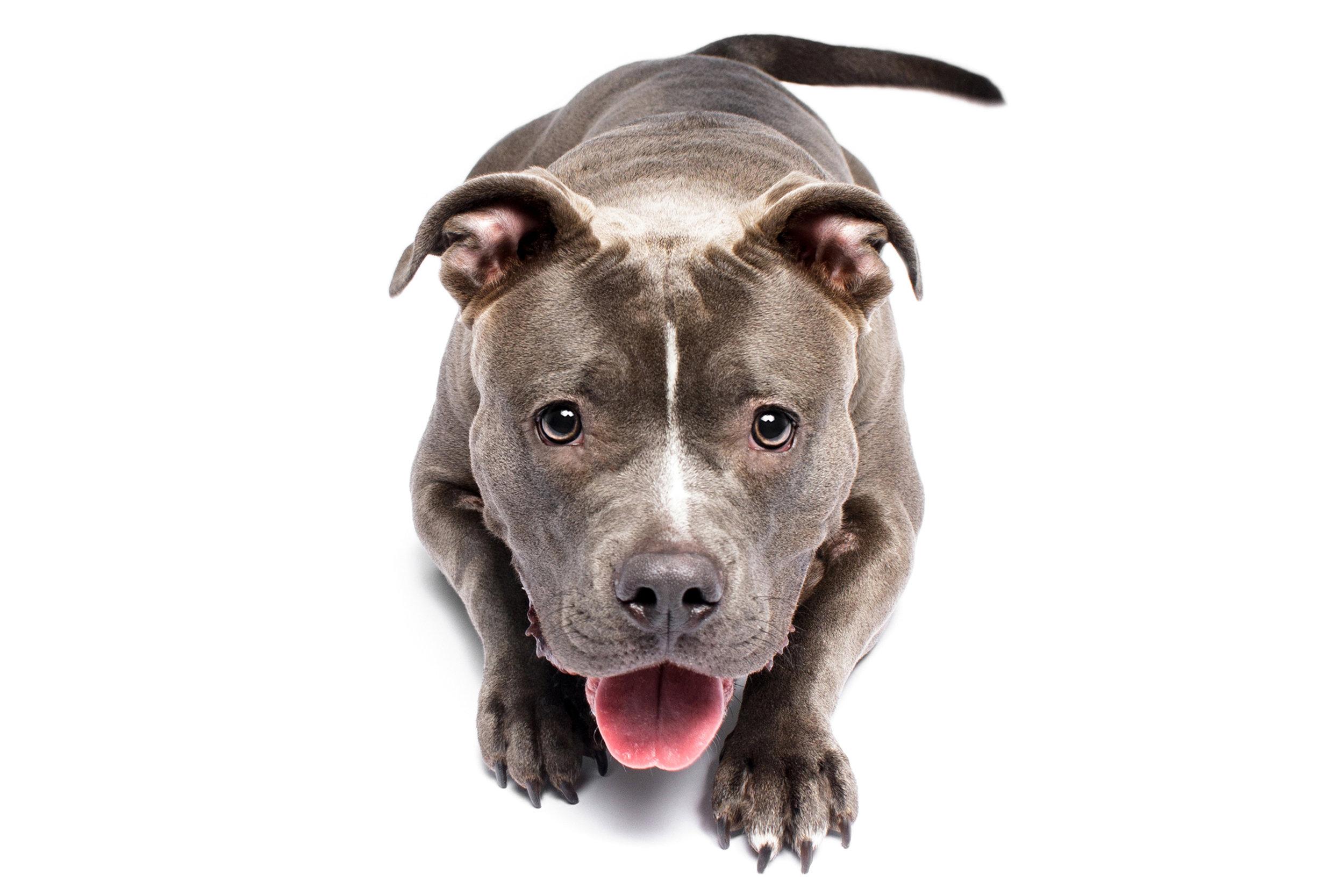 Kali the Blue Nose American Bully/Pitbull Terrier