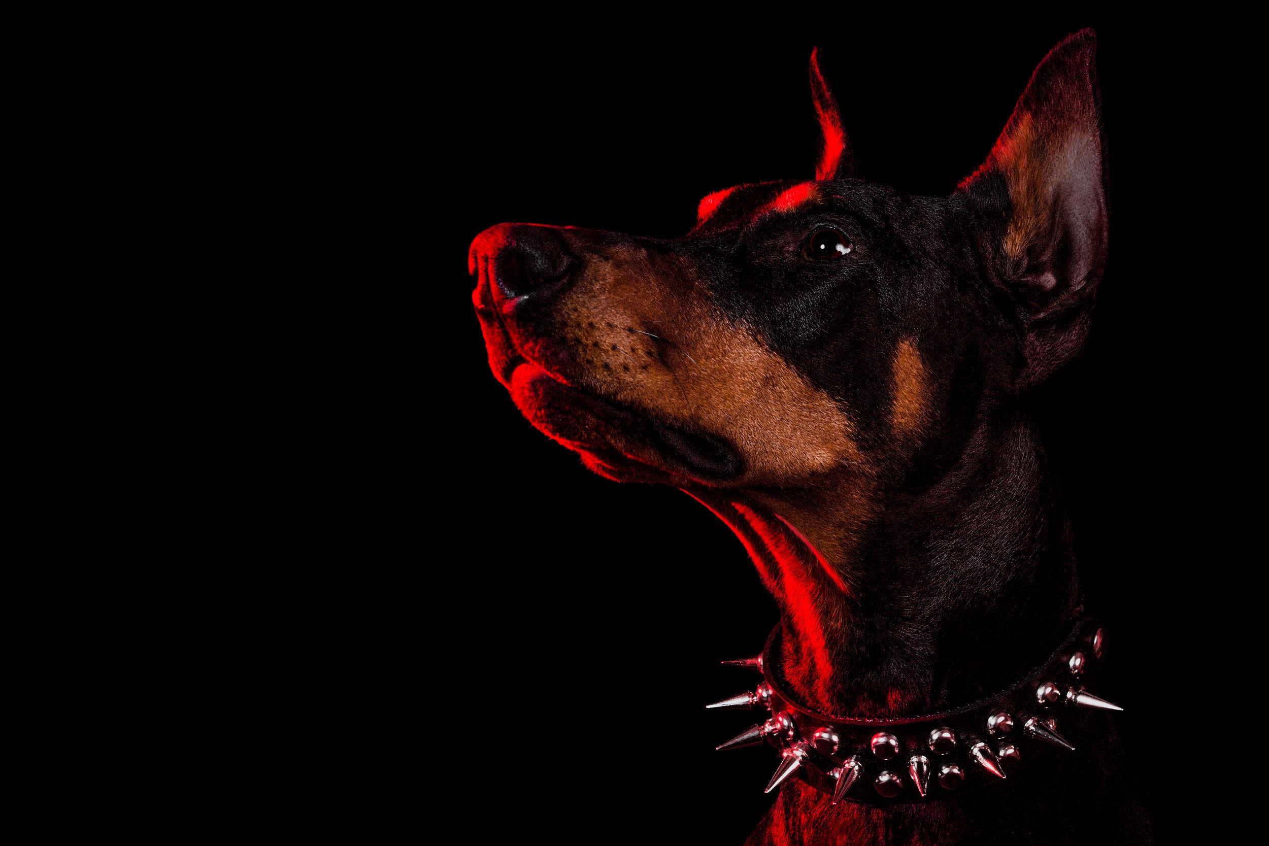 Photograph of a Doberman Dog by Toronto Pet Photographer Brent D'Silva. Brampton, ON.