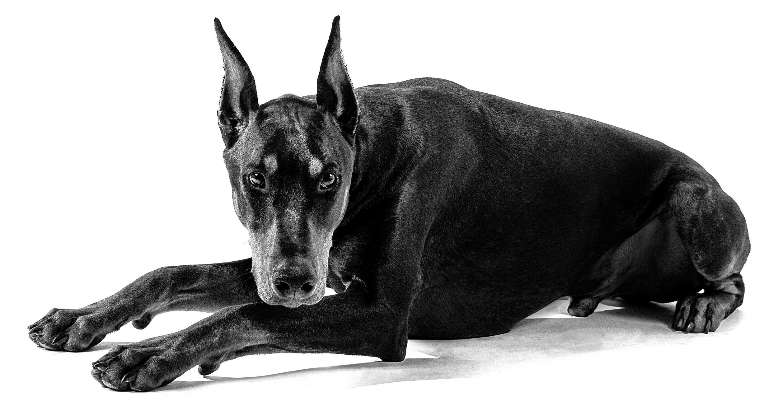 Black and White Image of a Doberman Dog by Mississauga Pet Photographer. Brampton, ON.