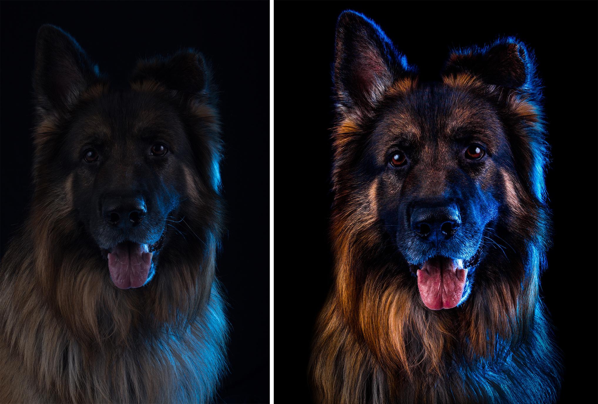 German Shepherd Portrait - Before and After.jpg