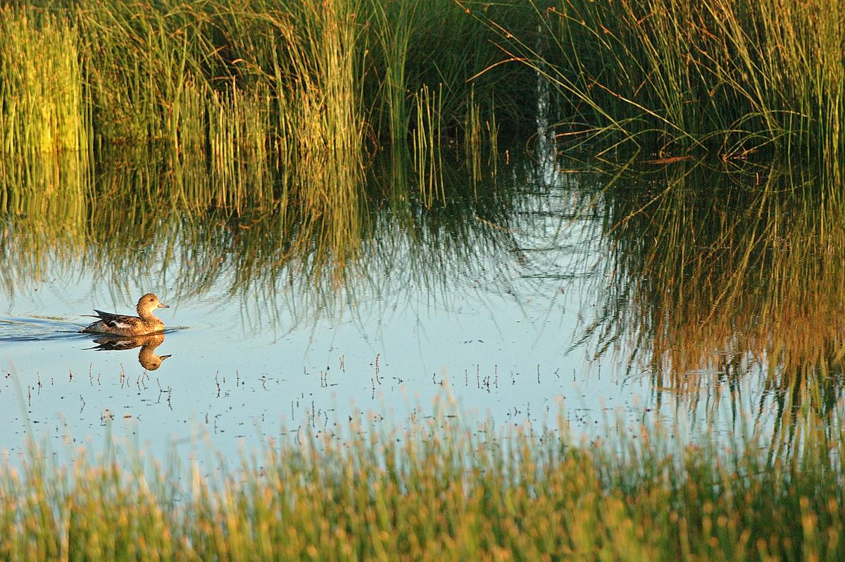 Duck pintail 05001.jpg