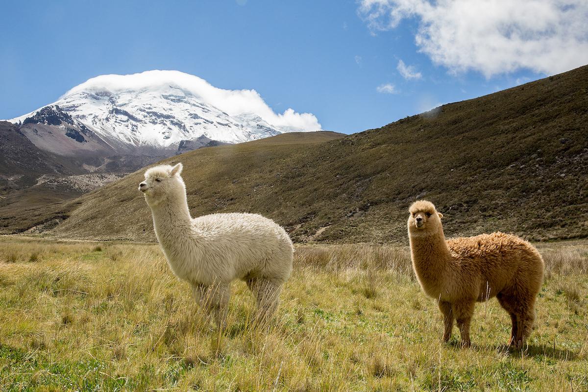 Alpacas in Ecuador