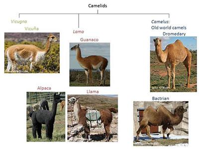 Camelids.jpg