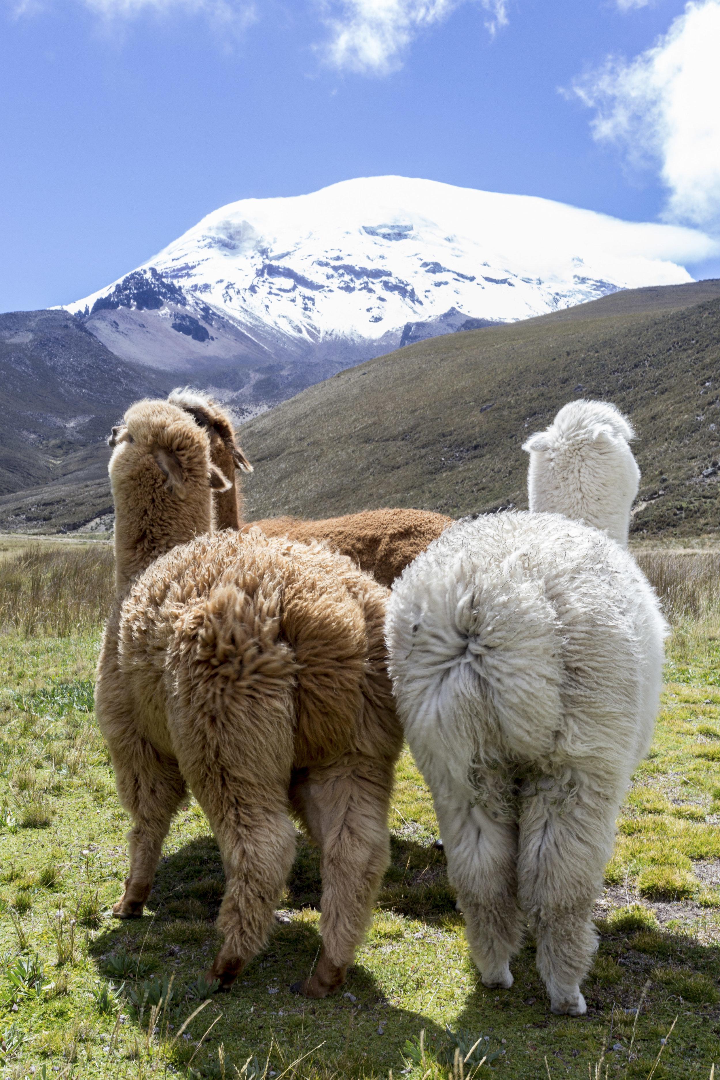 Blog-Alpacas-2.jpg