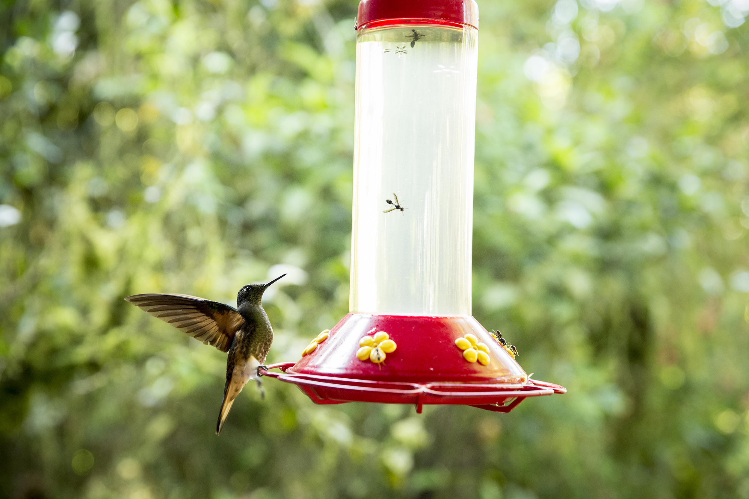Thousands of hummingbirds in the Cloud Forest region