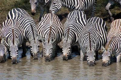 pregnant zebras drinking.jpg