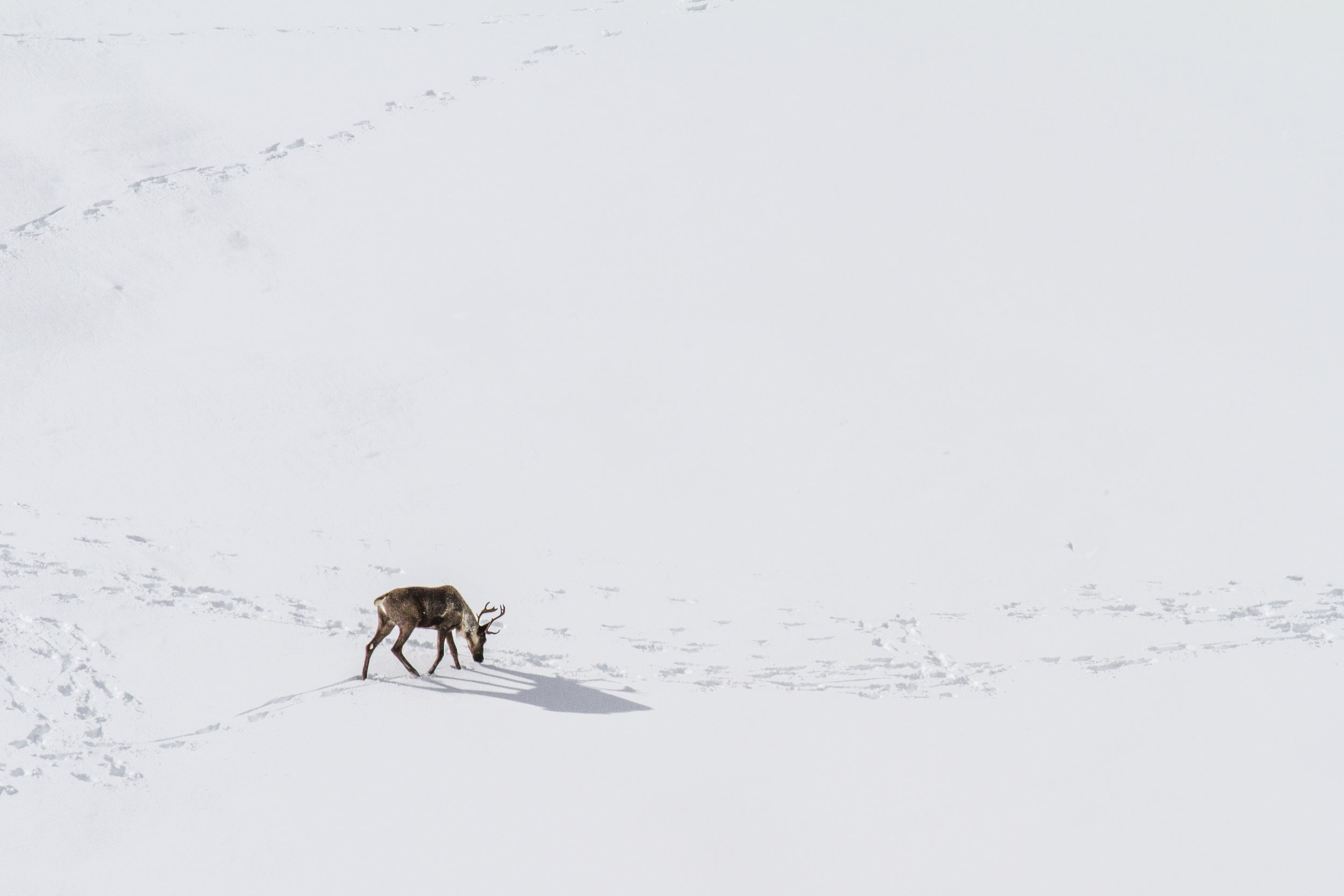 A population on the brink - With the last herd of mountain caribou extirpated from the wild in 2019, the total population of mountain caribou is estimated at less than 1500 across all of British Columbia and has been in steady decline for decades.
