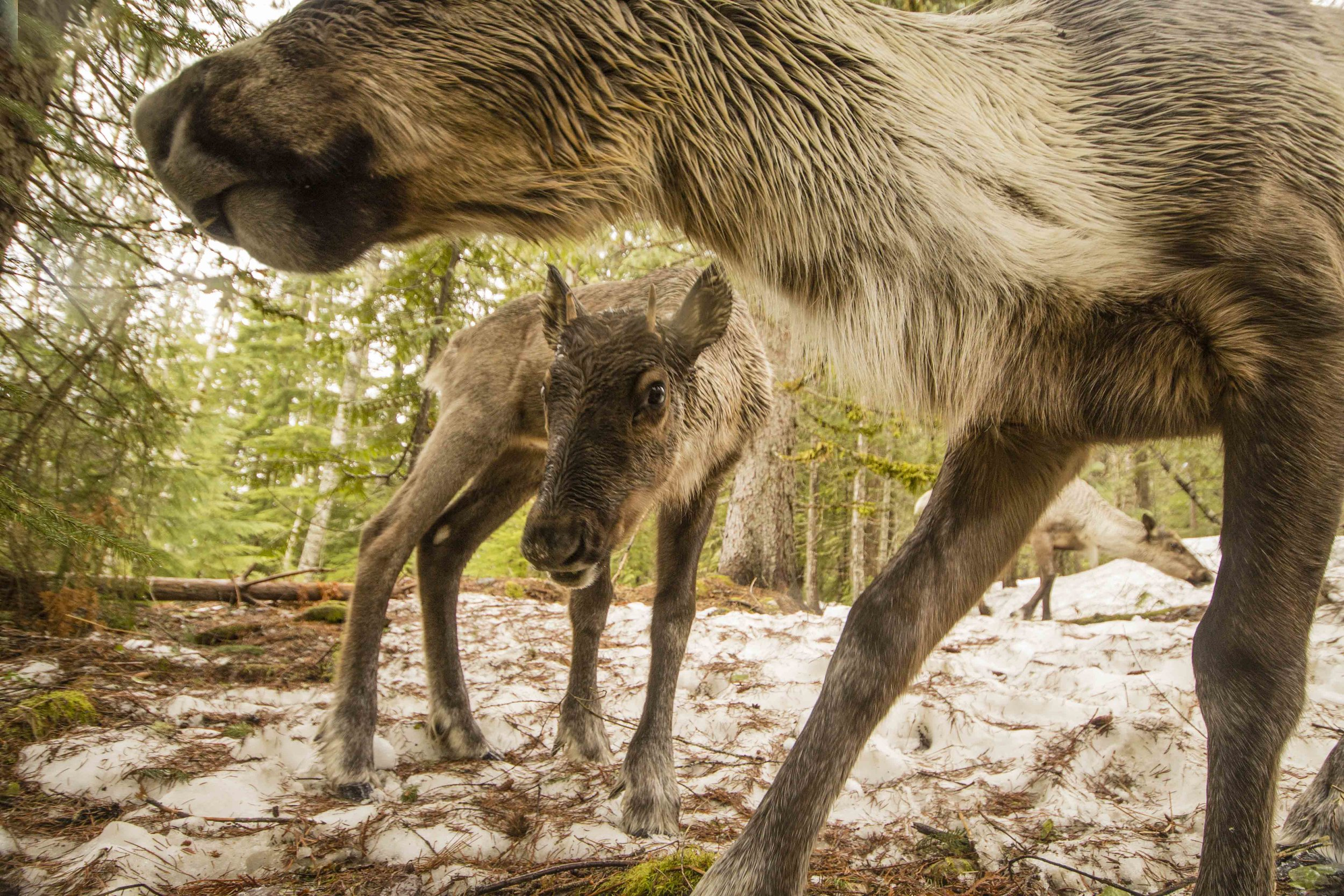 Speak Out for Mountain Caribou - The caribou need your help, your voice, right now. Let B.C. and Canada know you support caribou habitat protection and recovery efforts.Take Action: Y2Y Conservation Initiative →