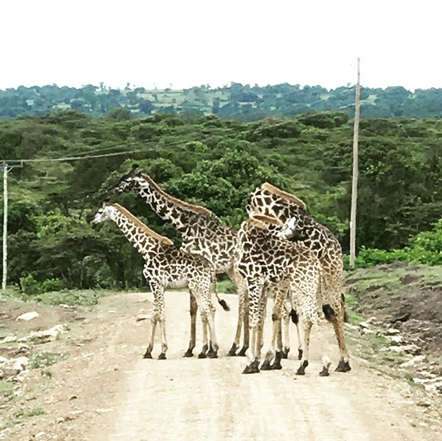 Game drives never get old #safari #serengeti #africa #hoggingtheroadgiraffestyle #kingofthejungle #dontpissoffthehippos #tripofalifetime