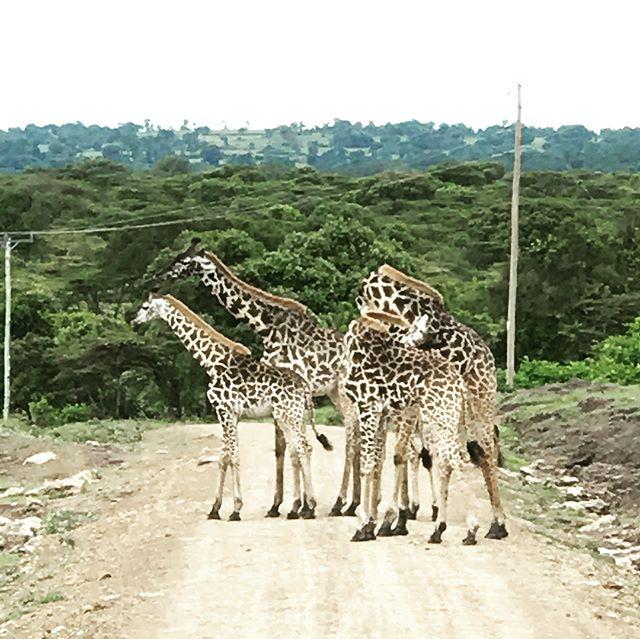 Game drives never get old #safari #serengeti #africa #hoggingtheroadgiraffestyle #kingofthejungle #dontpissoffthehippos #tripofalifetime